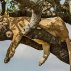 'Chết cười' sư tử ngủ vắt vẻo trên cây tránh nắng