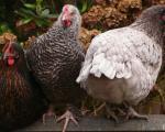 Sự thật về loài gà khiến chúng ta phải thay đổi suy nghĩ