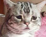Chú mèo có khuôn mặt buồn nhất thế giới