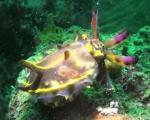 Hình ảnh hiếm hoi khi mực thay đổi màu sắc dưới biển