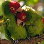 Ngọt ngào như cặp 'tình nhân' vẹt âu yếm nhau