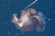 Rùng mình với loài cá kỳ quái, miệng rộng, răng tua tủa