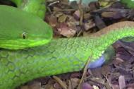 Tận mắt xem rắn lục đuôi đỏ sinh con