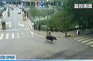 Trâu điên Trung Quốc húc bị thương 14 người trên phố