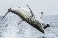 Cá mập trắng khổng lồ lao mình đớp mồi trên không