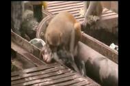 Chú khỉ cứu sống đồng loại bị điện giật