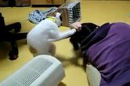 Khi mèo chăm sóc tóc cho chủ