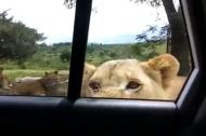 Hú hồn đi chụp ảnh bị sư tử cậy cửa