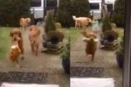 Đàn chó biết chuyển đồ đáng yêu hết cỡ