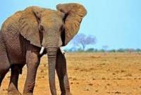Vì sao voi rất ít khi bị ung thư?