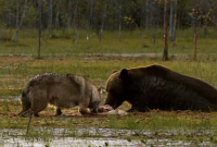 Dùng chiến thuật bầy đàn, chó sói cướp thành công miếng mồi từ gấu nâu nặng 320kg