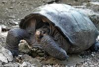 Loài rùa 'tuyệt chủng 100 năm trước' bỗng xuất hiện ở Nam Mỹ