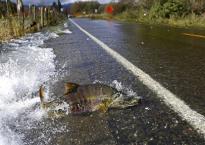 Chuyện lạ: Cá  hồi băng qua đường, bất chấp ô tô qua lại