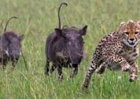 Báo săn khinh thường đối thủ và bị lợn con săn ngược