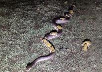 Lý giải bất ngờ về bức ảnh 10 con cóc mía 'cưỡi' trăn qua đường
