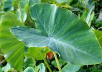 Từ nay, mọi người nên ăn lá khoai môn thay vì chỉ ăn củ: Vừa ngon vừa có lợi ích 'kỳ diệu'
