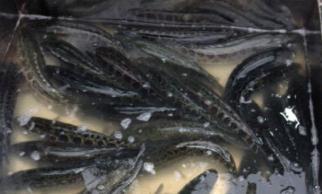 Hơn 90 tấn cá quả Trung Quốc đổ về chợ cá lớn nhất Hà Nội