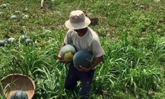 Quảng Nam không còn dưa hấu thu hoạch để bán