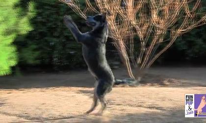 Chó trổ tài nhảy