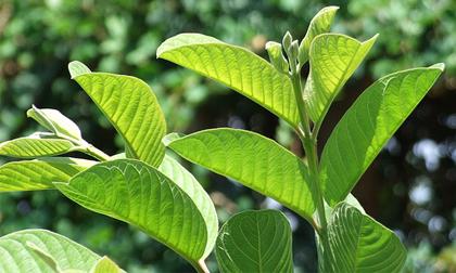 3 loại cây, quả dân dã giúp bạn đẩy lùi bệnh tiểu đường