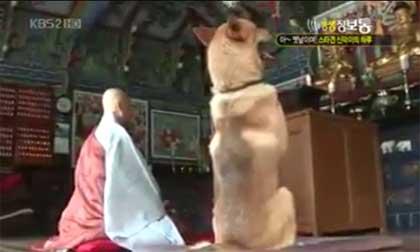 Thú vị chú chó biết đi lễ chùa