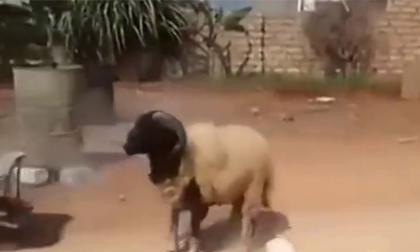 Rảnh rỗi chọc tức cừu sừng to