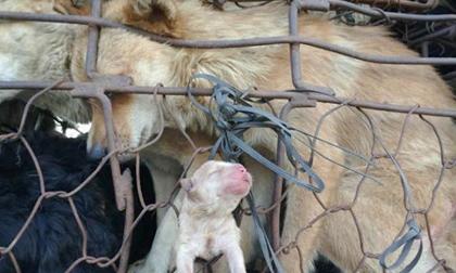 Thu Minh gây 'bão mạng' với ảnh chó mẹ sinh chó con trên đường ra lò mổ