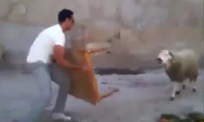 Cuộc chiến với cừu và cái kết cho thanh niên 'hổ báo'