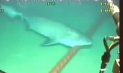 Hình ảnh cá mập cắn đứt cáp ở biển