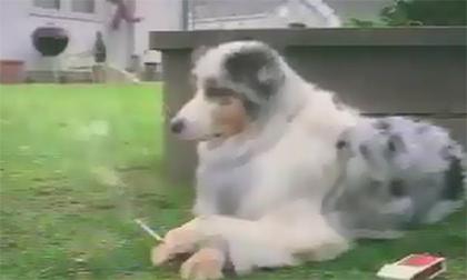 Chó hút thuốc lá