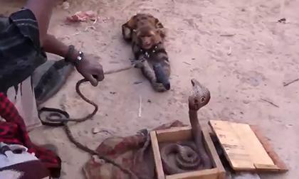 'Khỉ lai báo' cầm súng bắn hổ mang