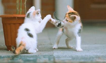 Ngắm những chú mèo đùa nghịch hồn nhiên như trẻ thơ