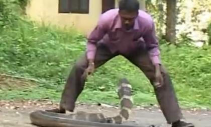 Bắt rắn hổ mang chúa bằng tay không
