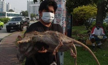 Quét rác trên phố, bắt được 2 con chuột khổng lồ to bằng con mèo
