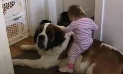 Bé đòi cưỡi cún như cưỡi ngựa