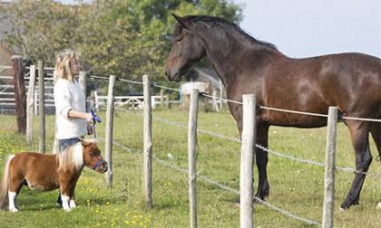 Chú ngựa tí hon 55cm được nuôi như... chó cảnh