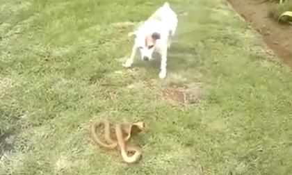 Cuộc chiến giữa chó và rắn hổ mang