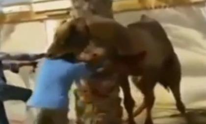 Lạc đà bị cắt cổ điên cuồng ngoạm đầu người đàn ông