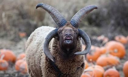 Chú cừu 4 sừng được mệnh danh là 'ác quỷ'