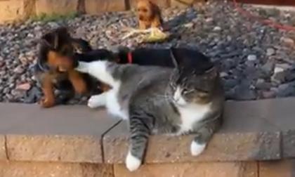 Mèo ú và đàn cún con
