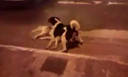 Chú chó cố gắng bảo vệ đồng loại sau khi gặp nạn