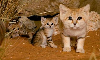 Ngất ngây trước vẻ đáng yêu của loài mèo mini 'trẻ mãi không già'