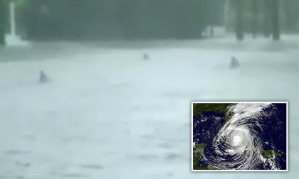 dứa, siêu bão, dứa khổng lồ