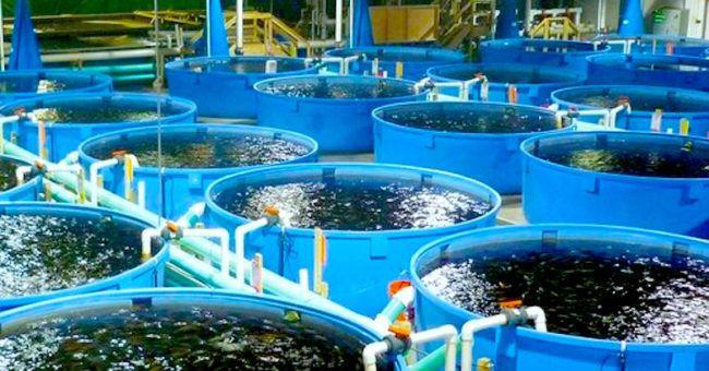 cá rô phi, ngừng ăn cá rô phi, tác hại ăn cá rô phi