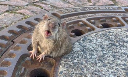 9 người giải cứu 1 chú chuột mắc kẹt ở nắp hố ga vì... quá béo
