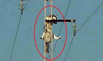 Trèo lên đỉnh cột điện, chú chó khiến khổ chủ phải 'khóc thét' mỗi khi 'giải cứu'