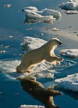 Gấu Bắc Cực tuyệt đẹp dưới ống kính nhiếp ảnh