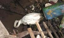 Thiên nga trắng dưới sông Tam Bạc, Hải Phòng vùng vẫy rồi gục giữa bãi rác khiến nhiều người xót xa