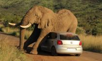 Ngộ nghĩnh chú voi kẹp chặt ô tô để...  gãi ngứa