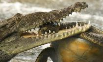 Kinh hãi rùa biển bị cá sấu nhai đầu